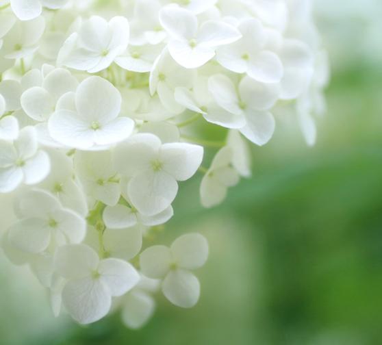 白い花/ご家族のみでゆっくりお別れが出来ると人気の家族葬